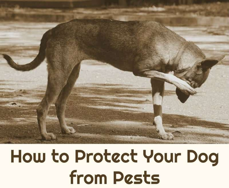 How to Protect Your Dog from Pests