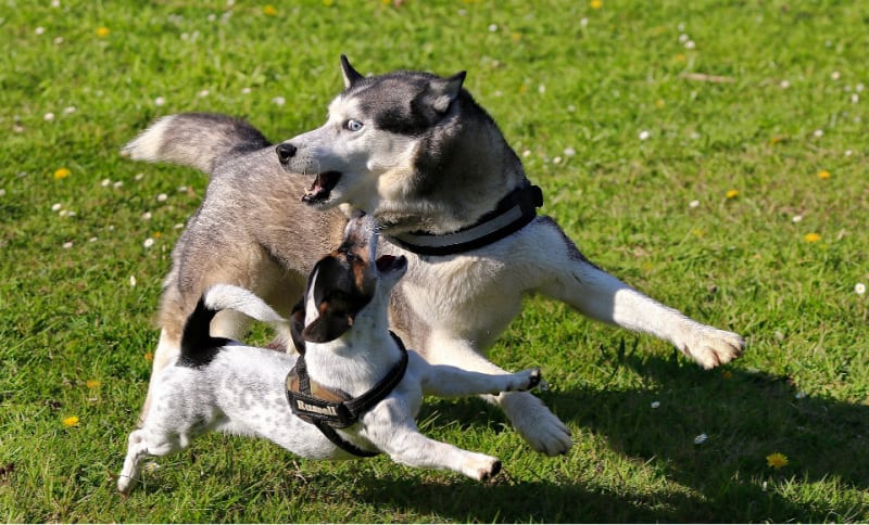 Husky and Jack Russel Terrier playing