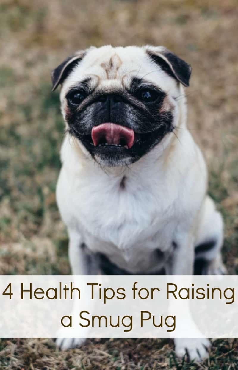 4 Health Tips for Raising a Smug Pug