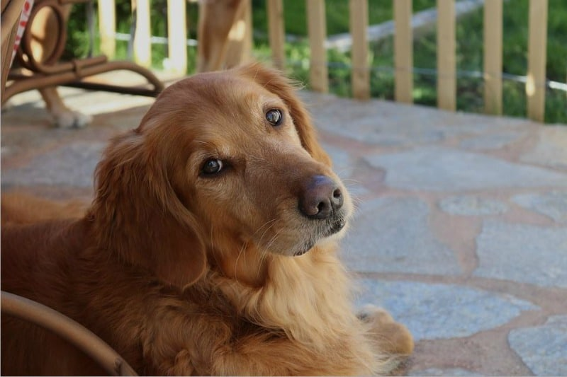 Make Every Day the Dog's Day 4 Ways to Cater to Your Retriever