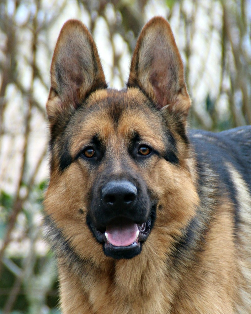 The Origins Of The German Shepherd Dog Miss Molly Says