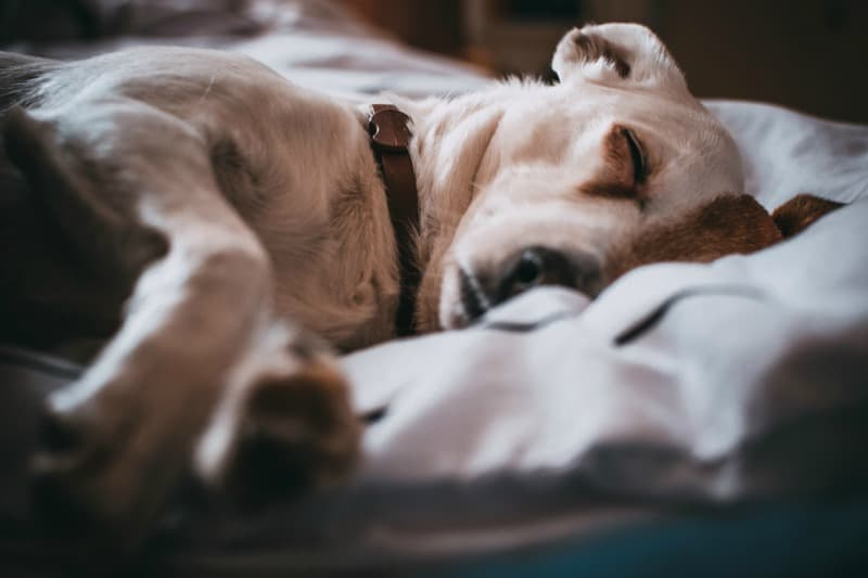 Why Dogs Snore and What to do About It