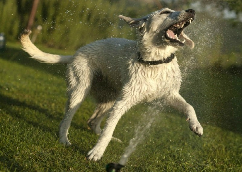 Summer Activities for dogs - dog playing in sprinkler