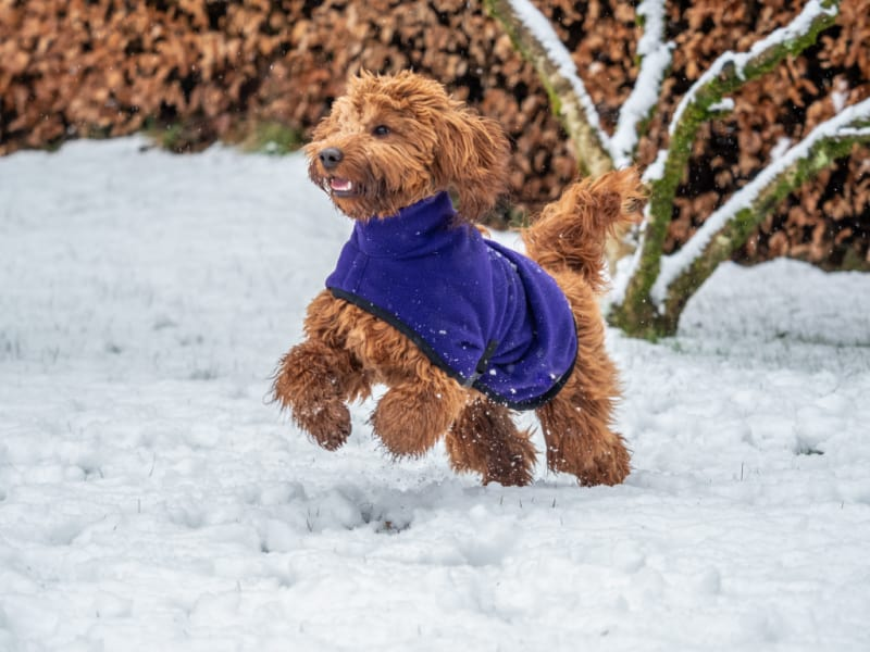 Cockapoo wearing a blue coat running through the snow