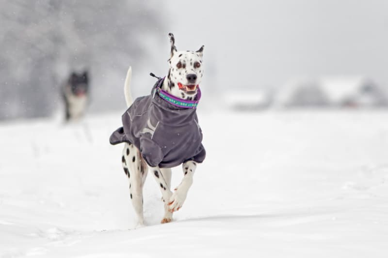Dalmation running through the snow wearing a gray coat