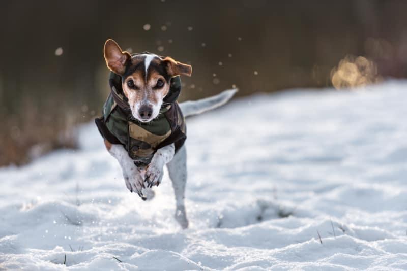 Dog wearing coat running through the snow