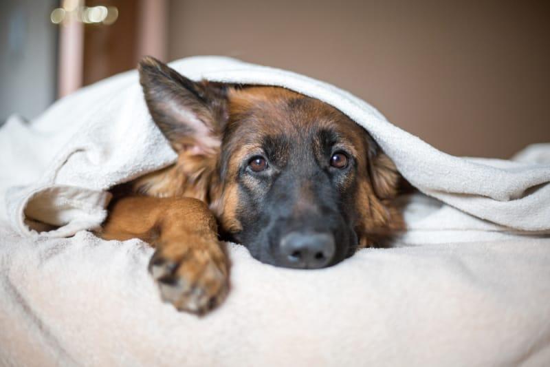German Shepherd laying under white blankets