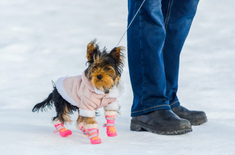 Small dog wearing a coat and boots in the snow