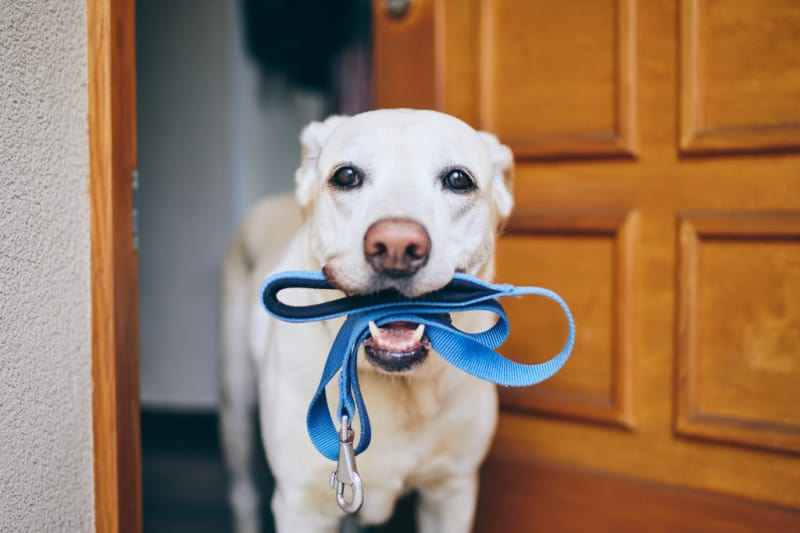 White dog holding blue leash in mouth