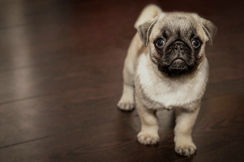 Dogs and Flooring How to Care for Different Flooring Types After Doggie Wear and Tear