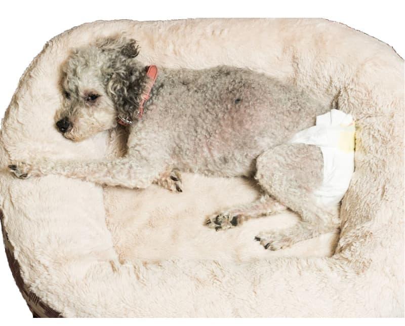 Dog wearing a diaper