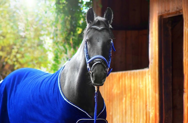 black horse wearing a blue coat standing by shelter