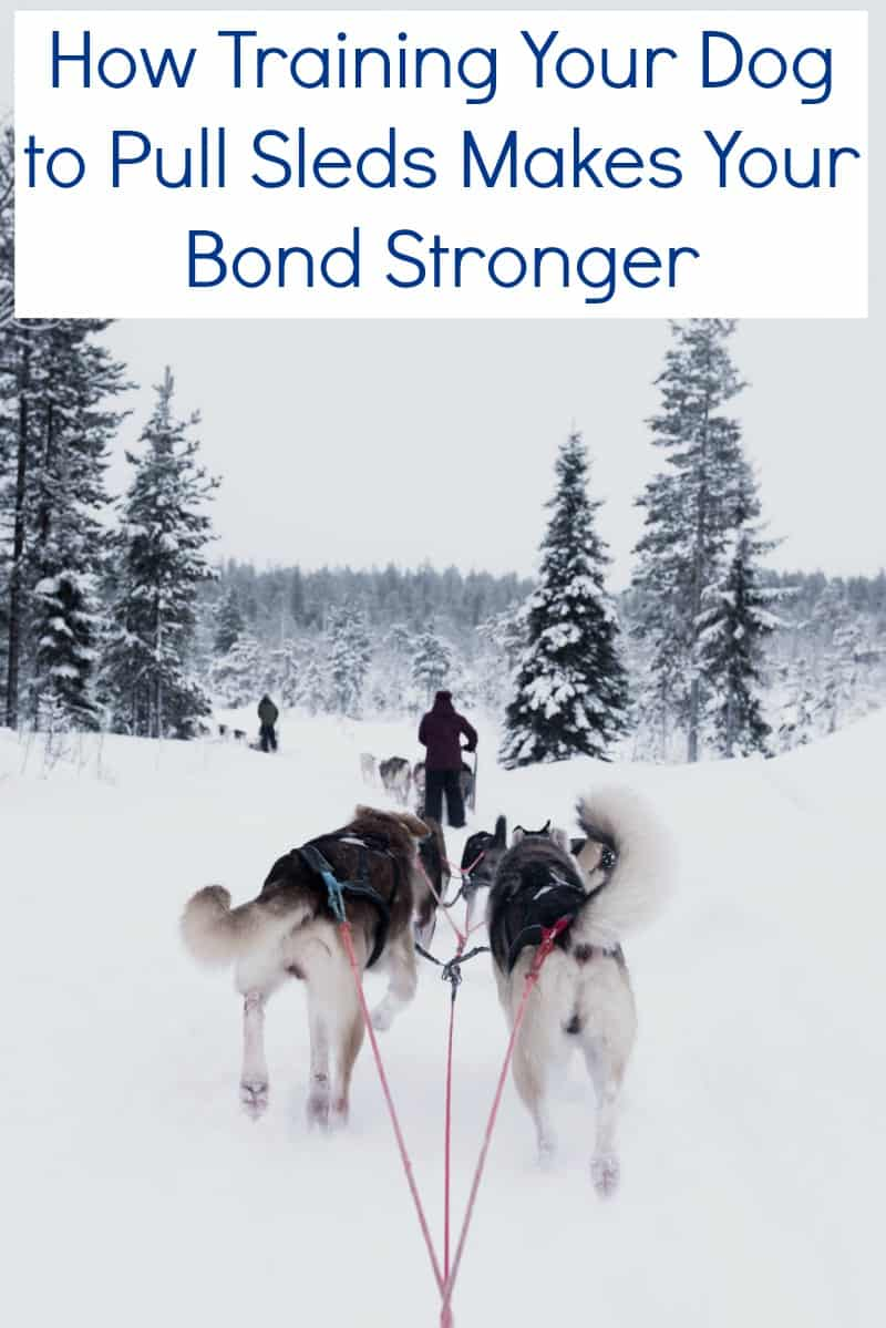 How Training Your Dog to Pull Sleds Makes Your Bond Stronger