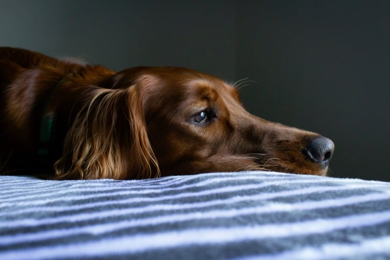 3 Reasons Why Your Dog's Stomach Might Feel Bloated