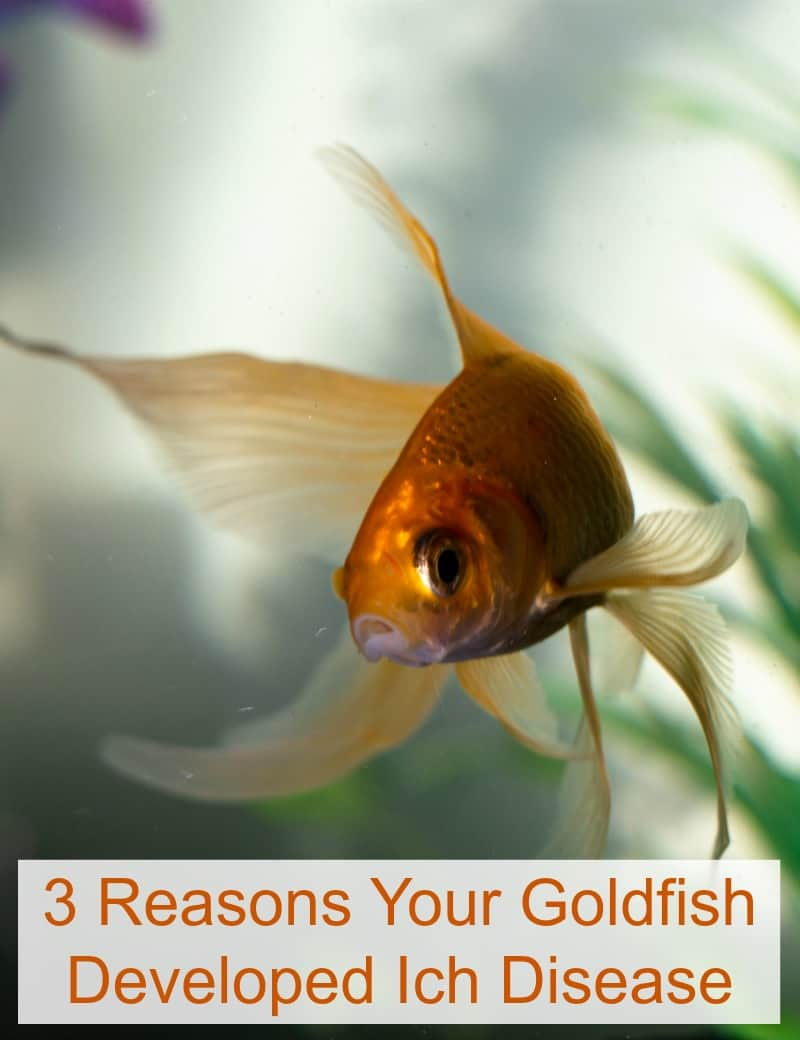 3 Reasons Your Goldfish Developed Ich Disease