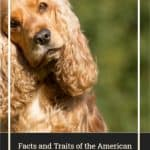 Facts and Traits of the American Cocker Spaniel Dog