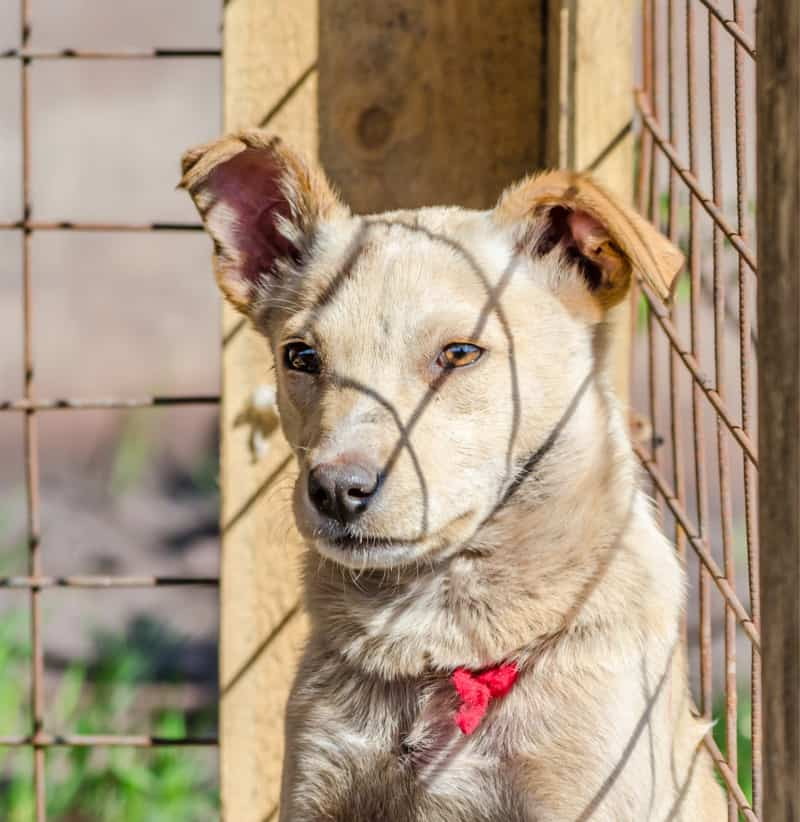 White dog behind a fence in shelter