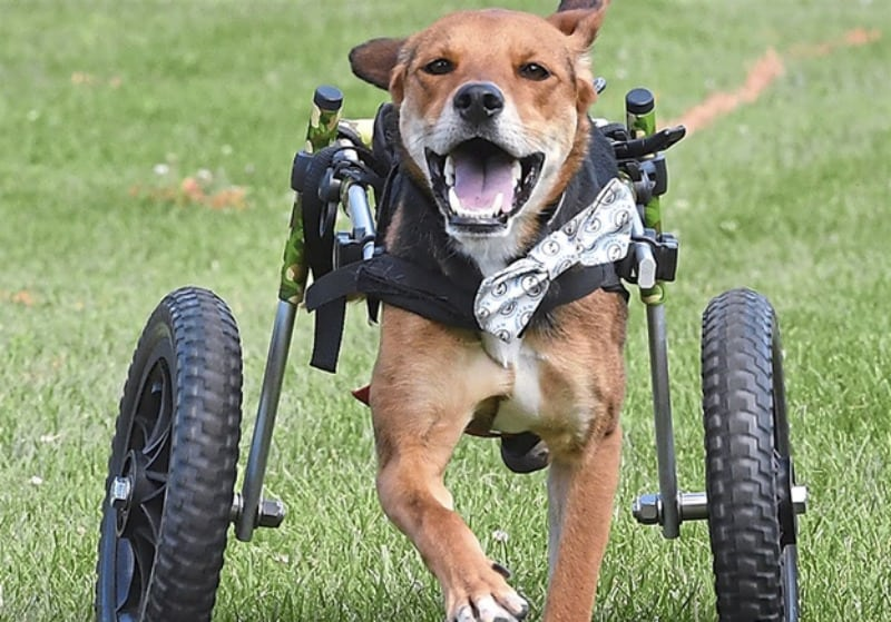 5 Reasons Why Dogs Need Wheelchairs Too