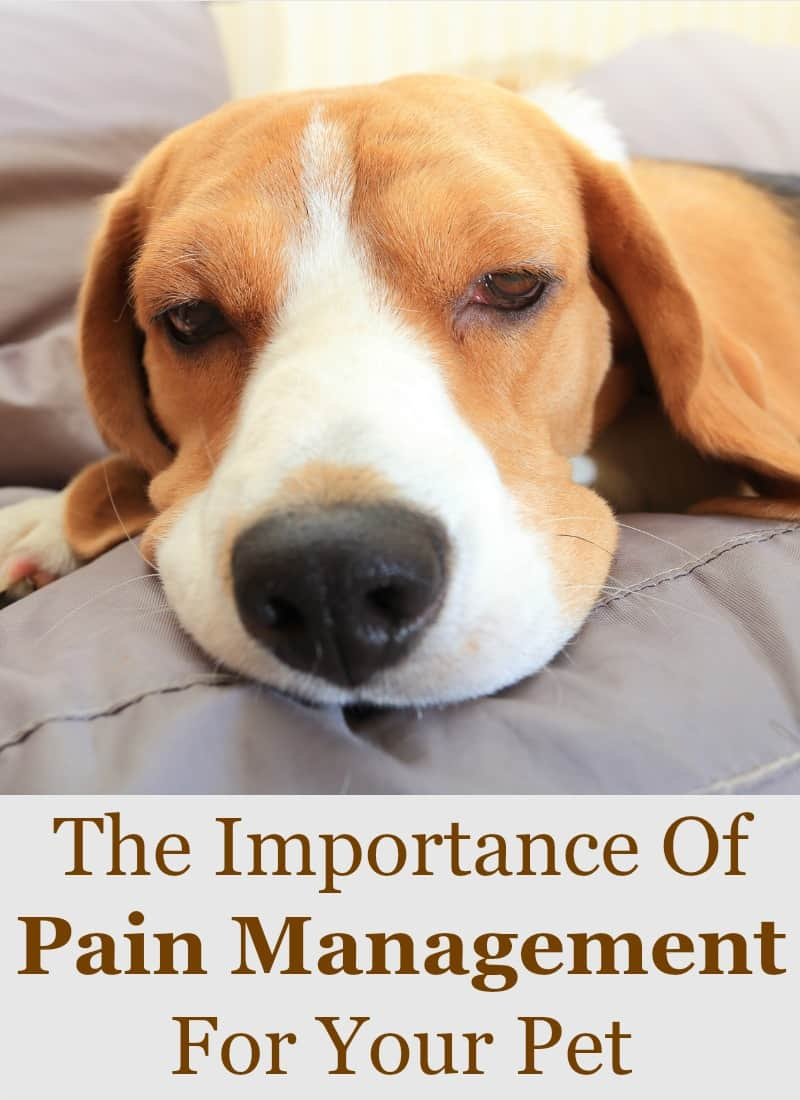 The Importance Of Pain Management For Your Pet
