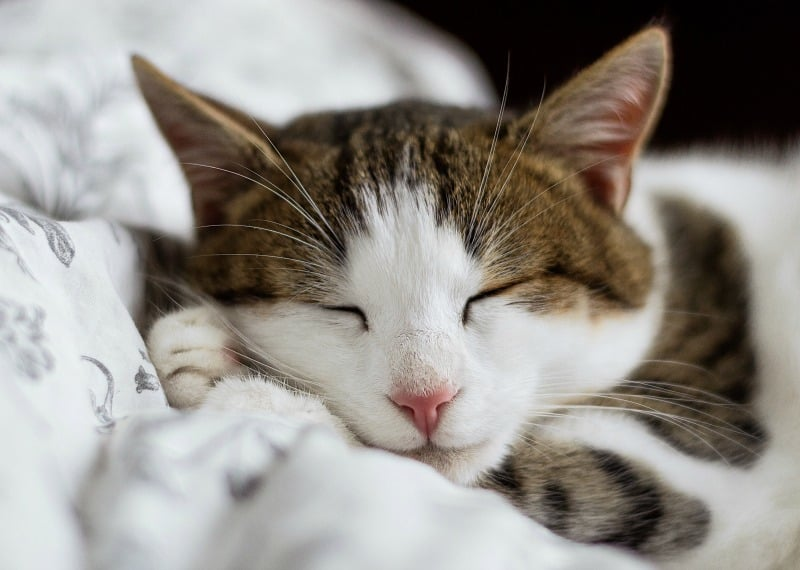 7 Common Causes of Vomiting in Cats