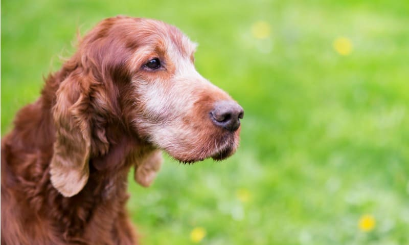 7 Signs of Canine Dementia + How You Can Help