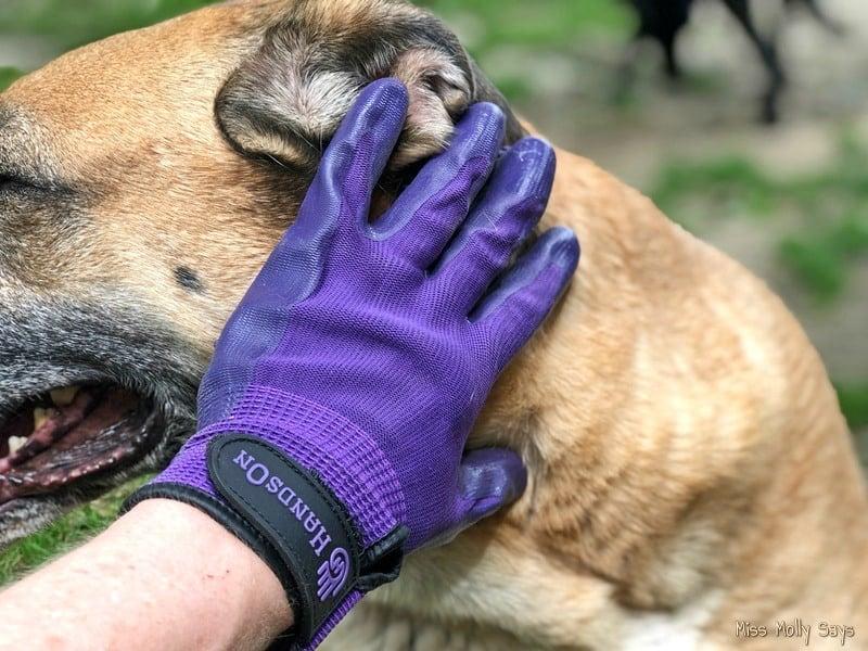 Brushing Tan German Shepherd Lab Mix with HandsOn Gloves