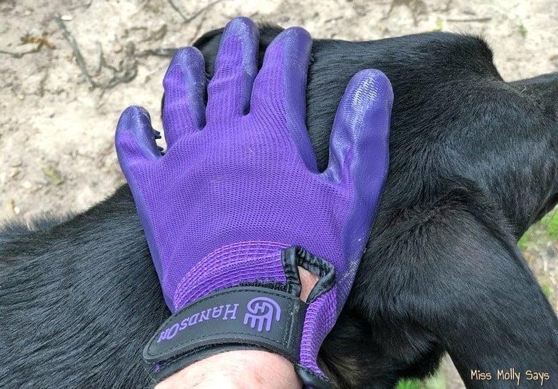 Brushing Black German Shepherd Lab Mix with HandsOn Gloves