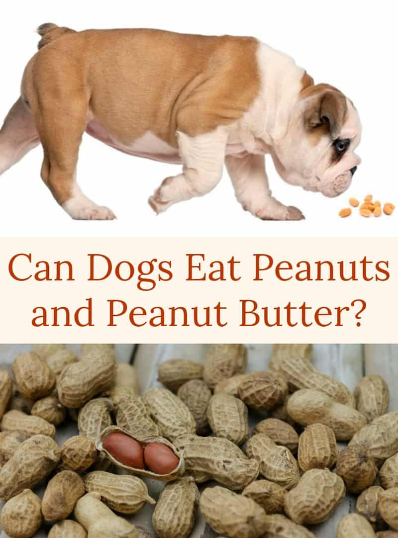 Can Dogs Eat Peanuts and Peanut Butter?
