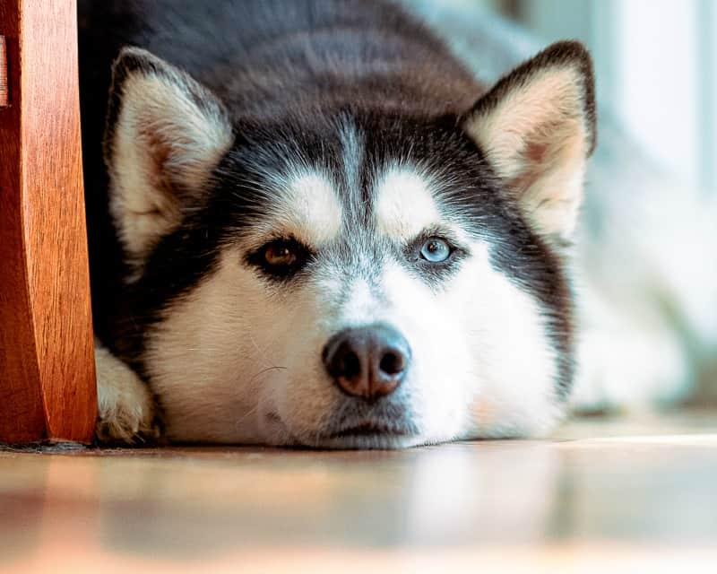 Siberian husky laying on the floor