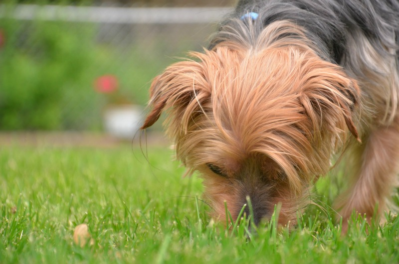 Dog sniffing grass
