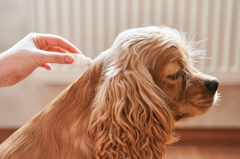 Applying flea spot on treatment to dog