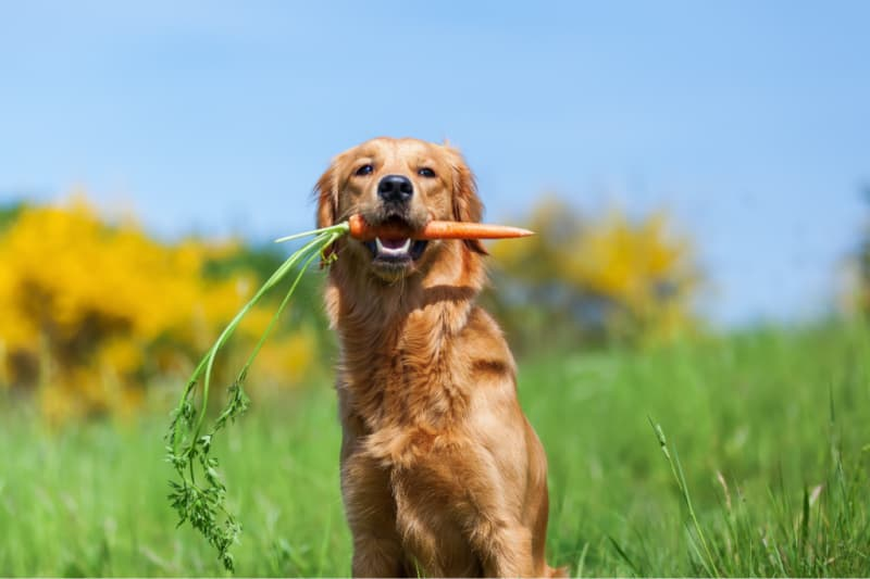 Dog in grass holding a fresh picked carrot