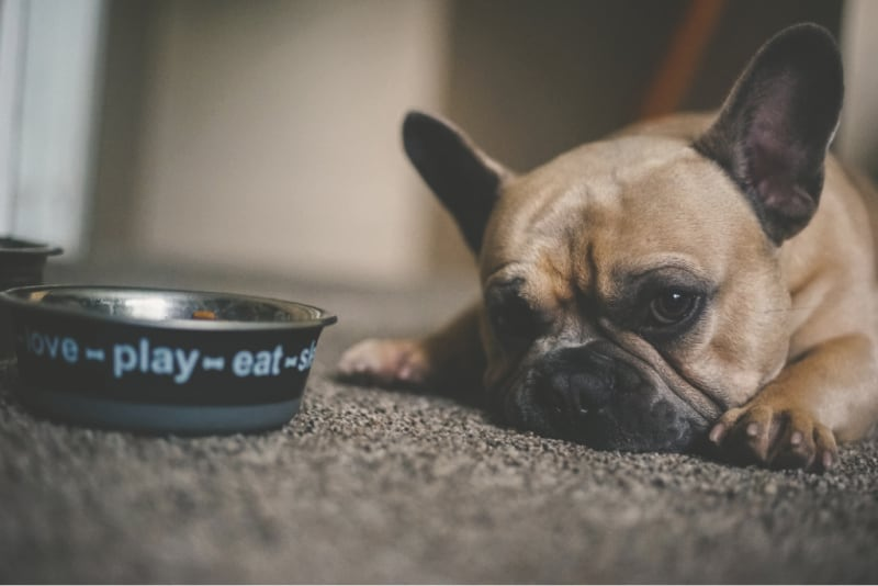 Dog laying by food bowl
