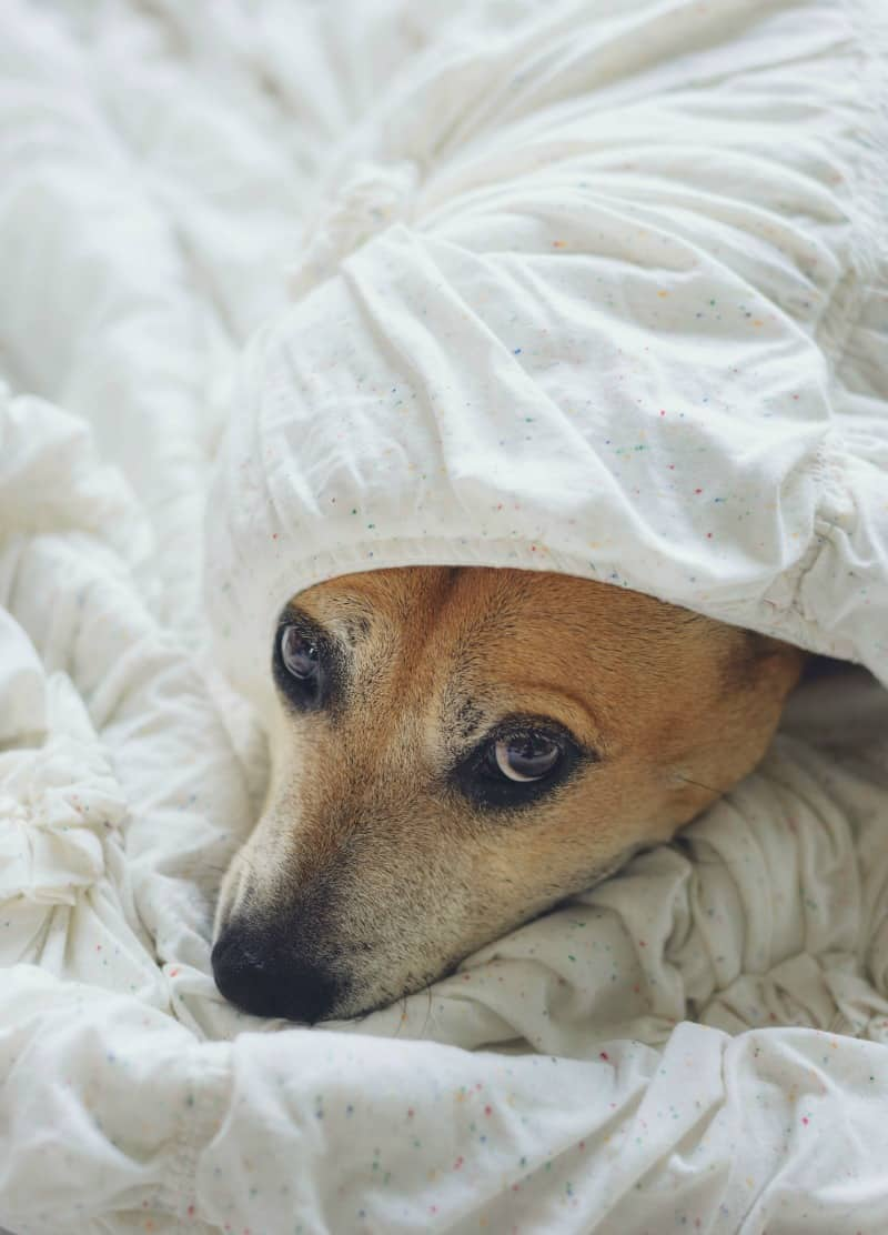 Dog looking out from underneath covers