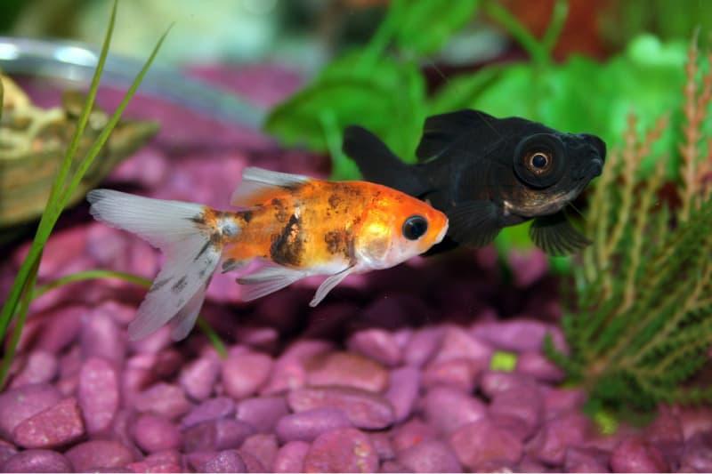 Orange and black goldfish in aquarium