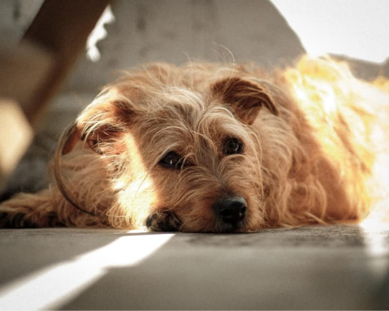 Terrier laying on the floor