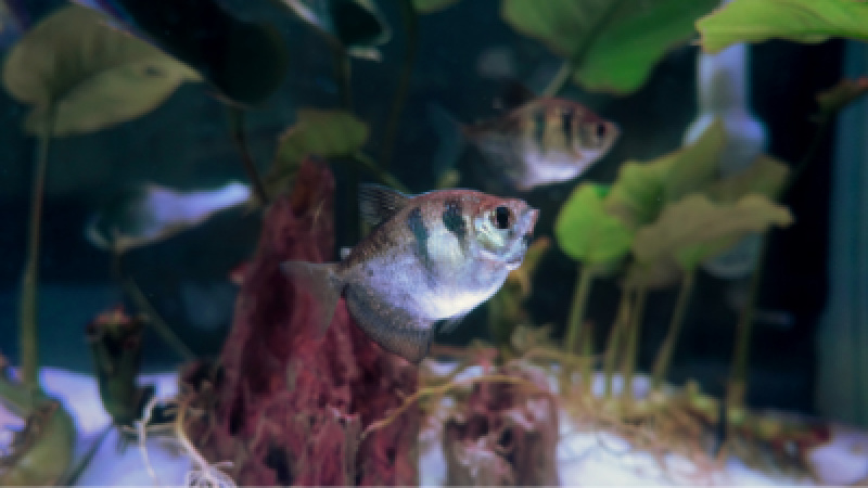Tetras in aquarium