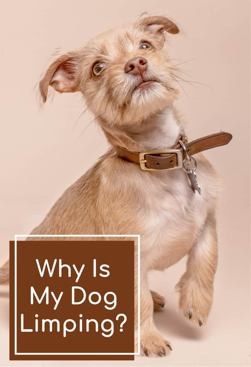 Why Is My Dog Limping?