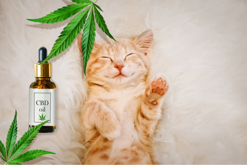 How To Use CBD Oil For Cats With Arthritis