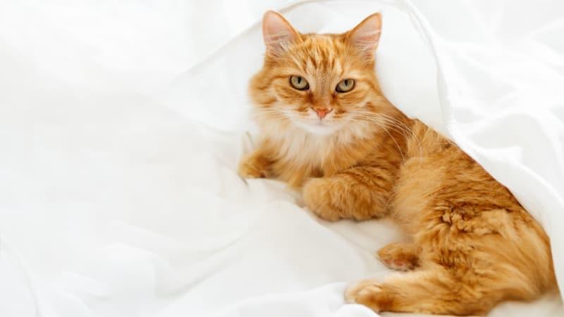 Orange cat laying on white sheets