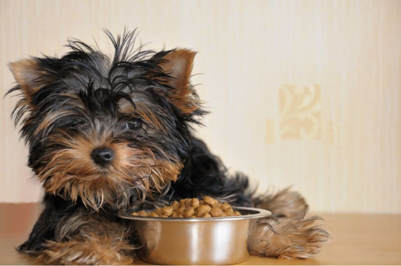 Small dog with food bowl