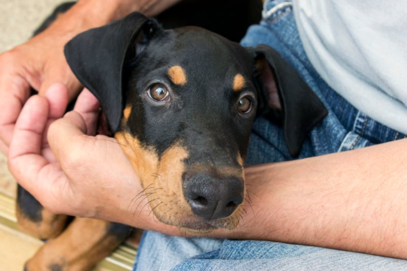 Black and tan doberman laying in man's lap