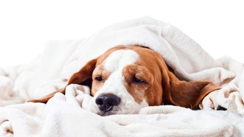 Brown and white sick dog laying under a blanket
