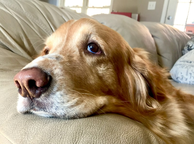 Closeup of dog with head laying on couch arm