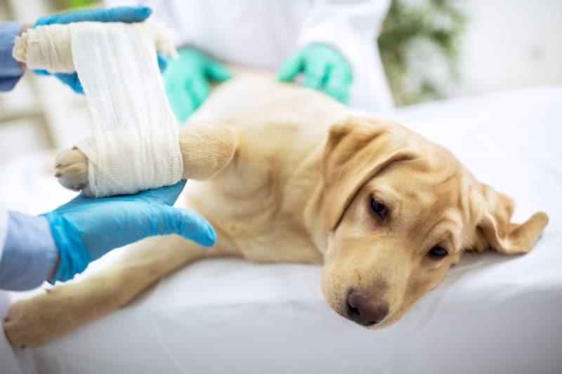Sad Labrador with broken leg at vet