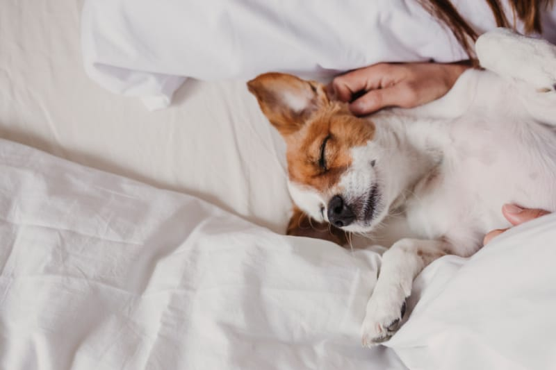 Cute small dog lying on bed with her human