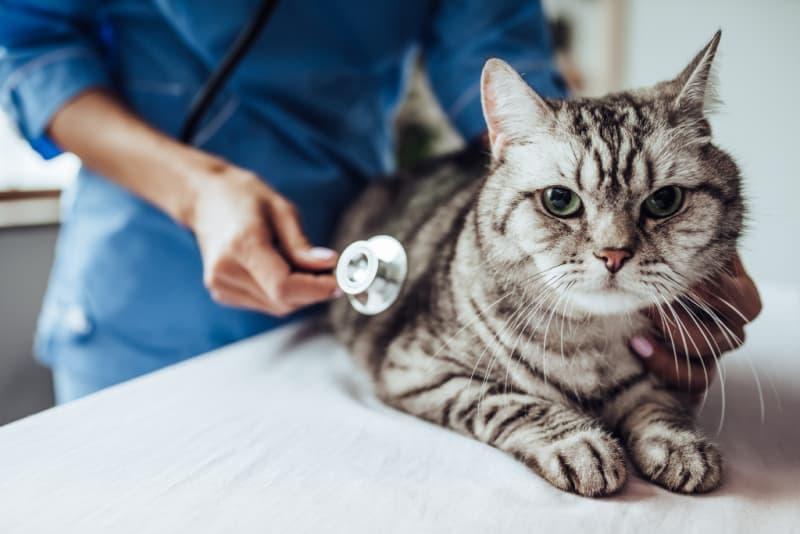 Gray cat getting exam at vet