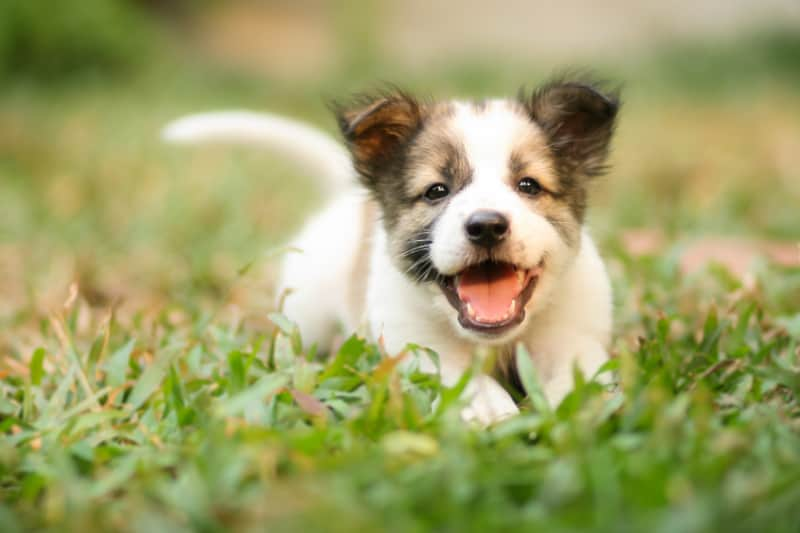 Smiling puppy laying in the grass