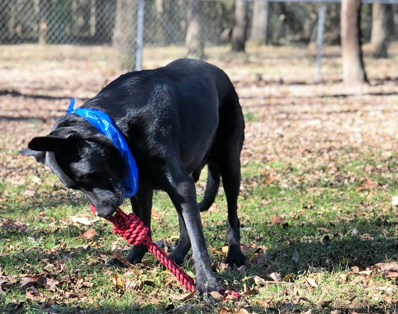 Black German Shepherd named Ozzy fetching the rope