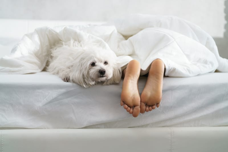White dog in bed with humans feet hanging off
